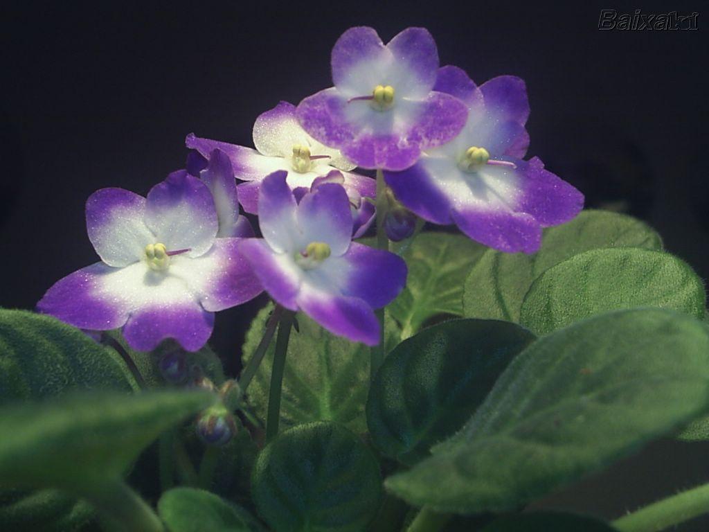 violetas mi siglo