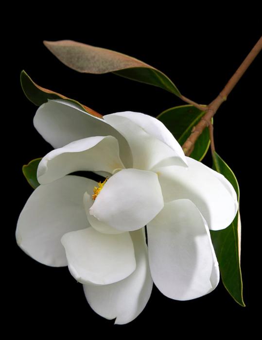 flores-bgy-magnolia-james-hilliard